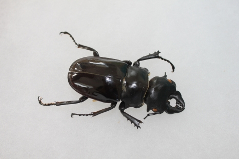 the last remaining beetle from the amazon. given to me over forty yrs ago by my cousin!